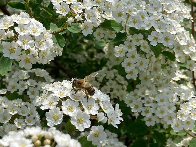 honeybee in flowers